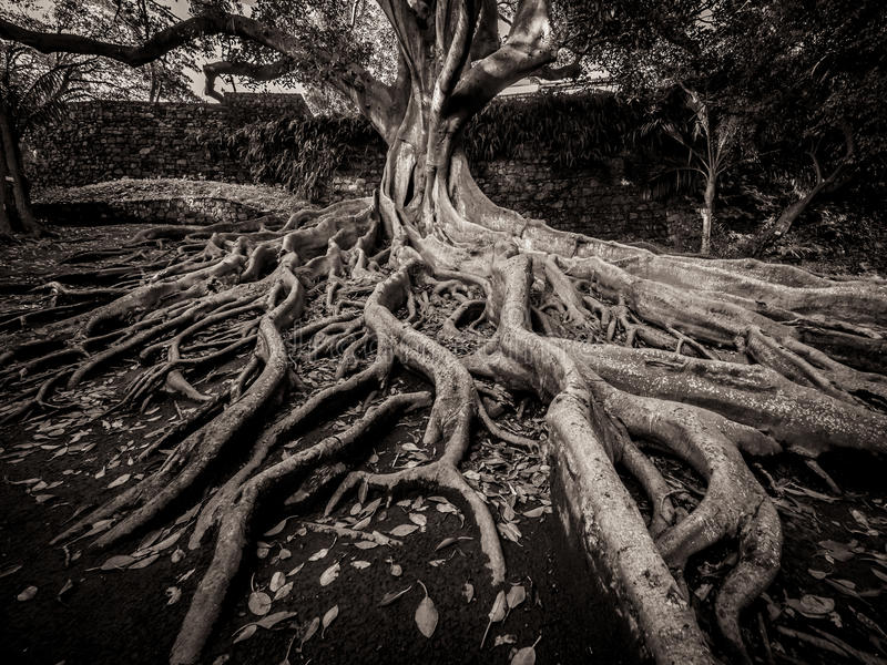 Enormous fig tree roots. Giant roots of a tree in the José do Canto Botanical Garden in Ponta Delgada, Sao Miguel island, Azores, Portugal stock image
