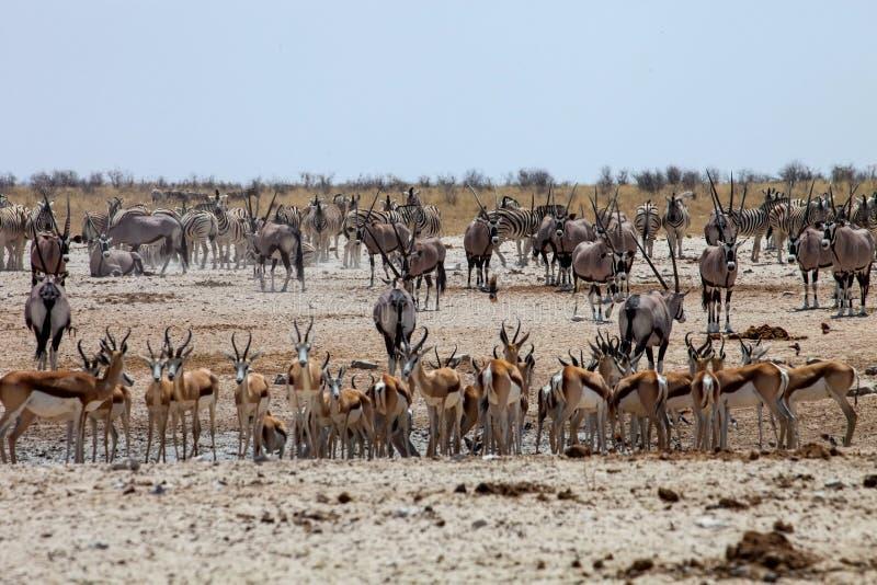 Enormous number of animals at the waterhole in the Etosha. National Park, Damara zebra, Equus burchelli antiquorum,Springbok,Antidorcas marsupialis, Gemsbok stock image
