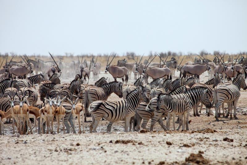 Enormous number of animals at the waterhole in the Etosha. National Park, Damara zebra, Equus burchelli antiquorum,Springbok,Antidorcas marsupialis, Gemsbok stock photos