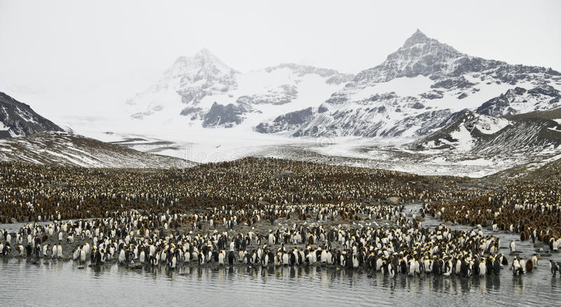 Enormous Penguin Colony. stock image