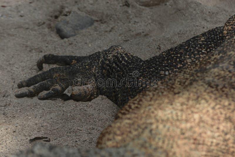 Enormt ben för Komodo drake på sanden i Bali, Indonesien arkivbilder