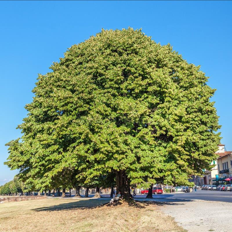 Enormt gammalt träd i centret Gränd av stora ekar längs vägen i Italien royaltyfri fotografi