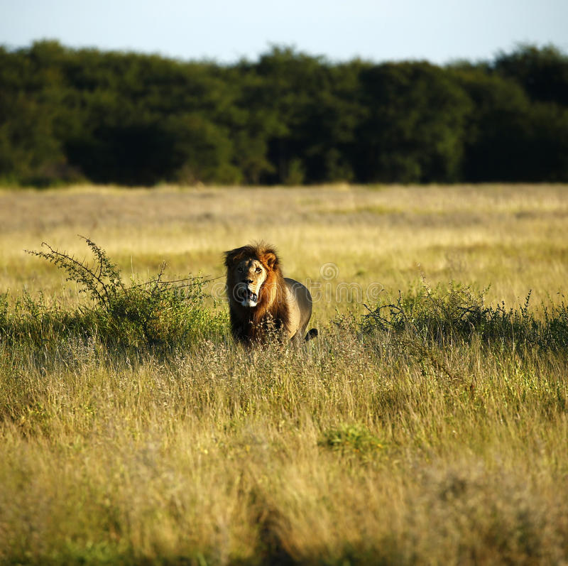 Enormt Kalahari manlejon arkivbilder