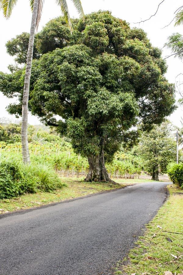 Enormt mangoträd framme av platationen i Tropes arkivfoton