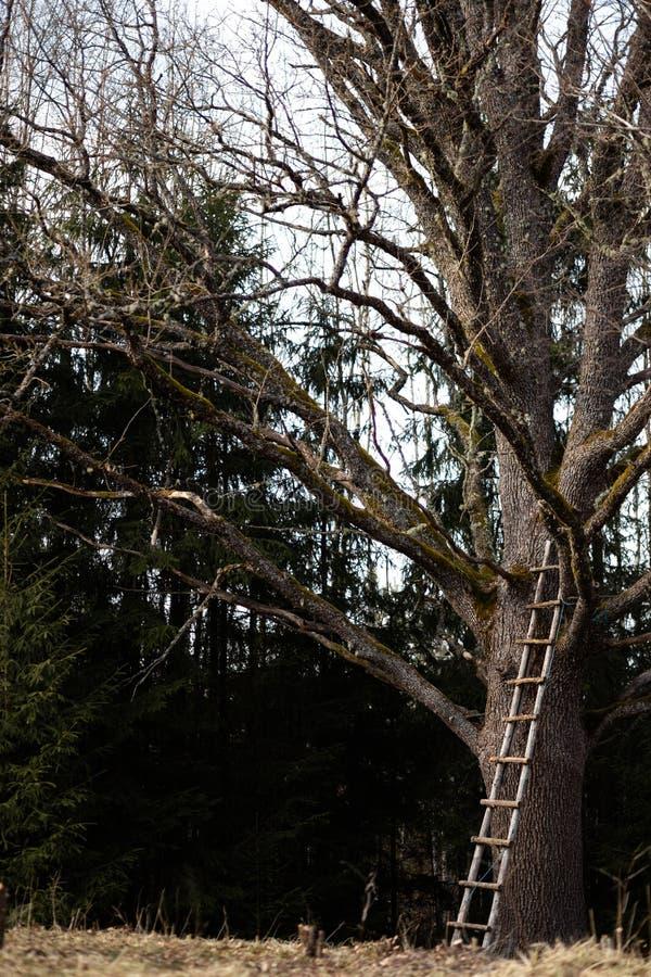 Enormt naket träd med en lång stege i mitt av en skog royaltyfri bild