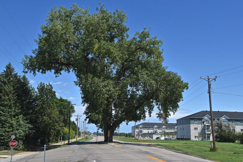 Enormt poppelträd i mitt av en väg arkivfoto