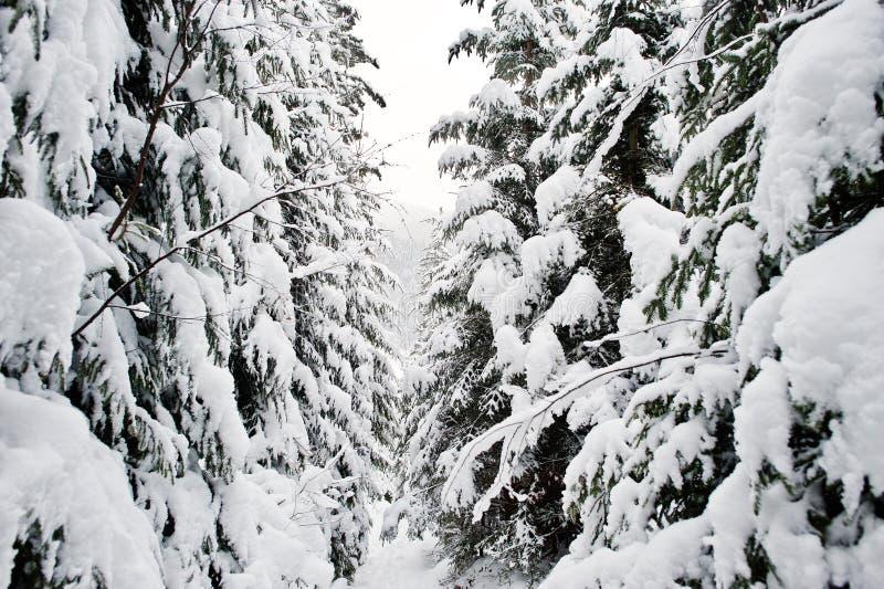 Enormt sörja trädskogen som täckas av snö Majestätisk vinterlandscap arkivfoton