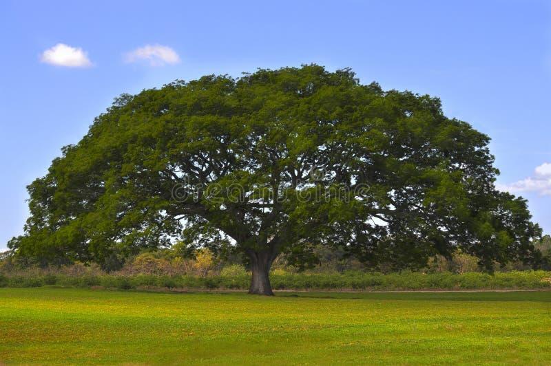 Enormt träd arkivfoto
