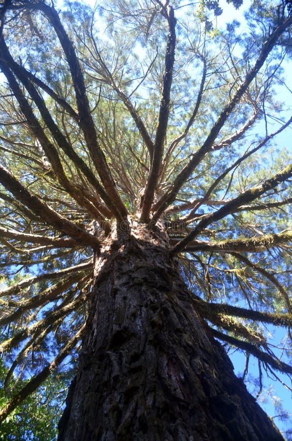 Enormt träd med en massiv canope arkivbild
