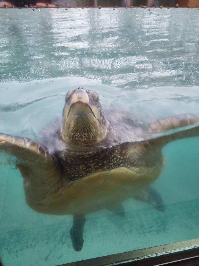 Enoshima水族馆乌龟 库存照片