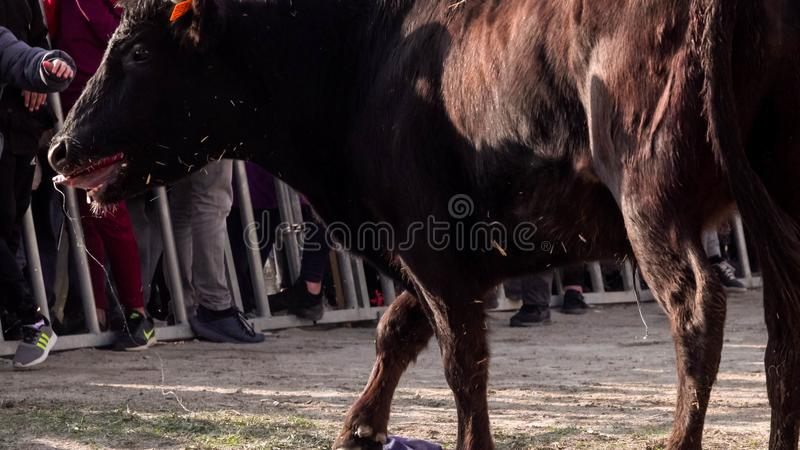 Enraged black bull in the arena. Race of the bull in the bouvaou: small arena stock photography