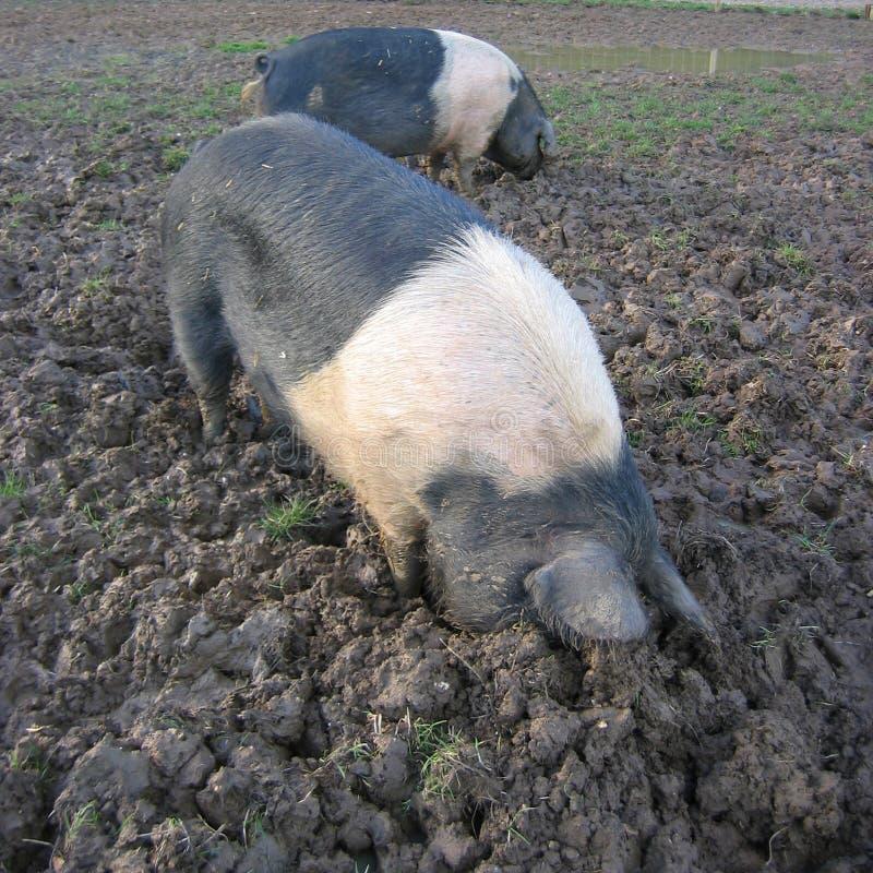 Enraizamento dos porcos fotos de stock
