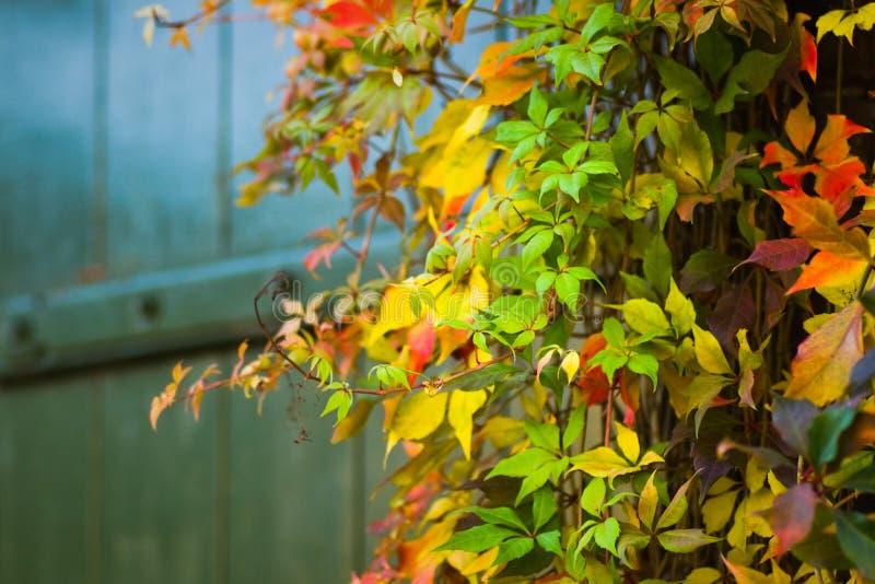 Enredadera colorida del Virginian en otoño foto de archivo libre de regalías
