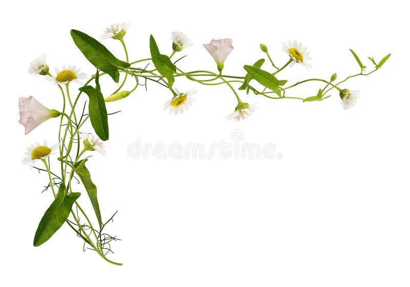 Enredadera y flores y hojas de la margarita imagen de archivo