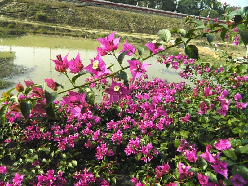 Enredaderas e hierbas de la buganvilla con las flores imagen de archivo