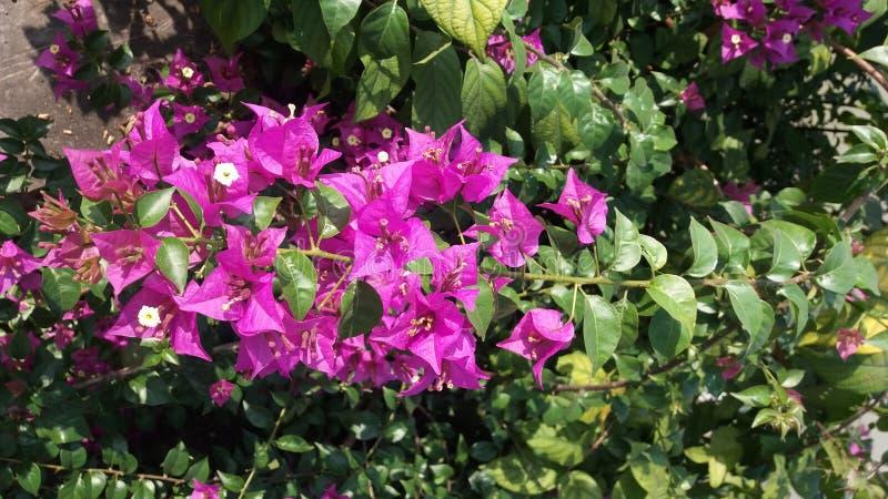 Enredaderas e hierbas de la buganvilla con las flores foto de archivo libre de regalías