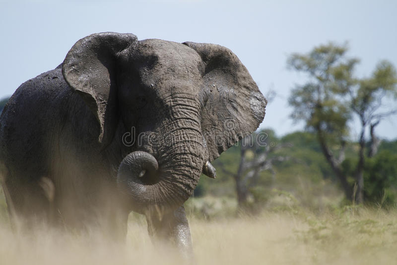 Enrollamiento del tronco del elefante imágenes de archivo libres de regalías