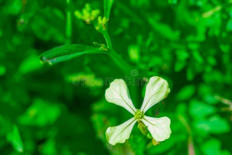 Ensalada del flor del Arugula fotos de archivo