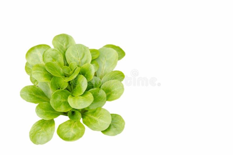 Ensalada verde de la lechuga aislada en el fondo blanco imagenes de archivo