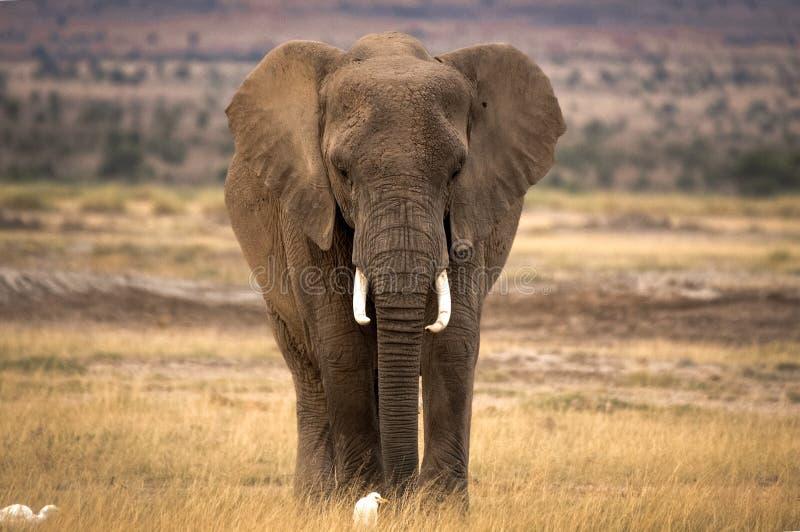 Ensam afrikansk elefant med två nötkreaturägretthäger arkivbilder