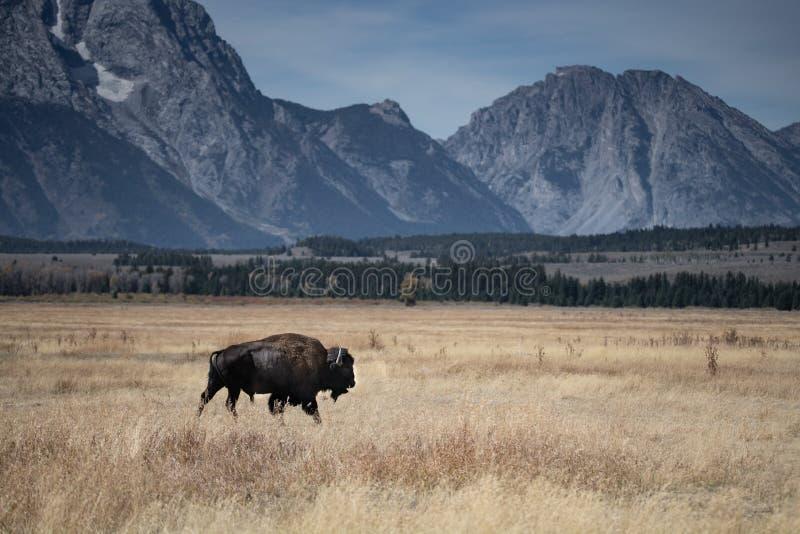 Ensam bison med storslagna Tetons arkivfoto