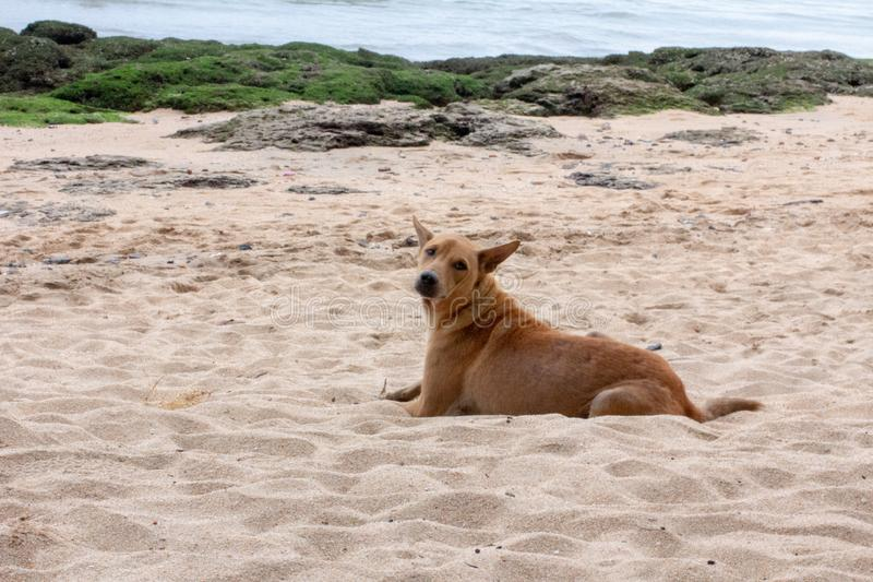 Ensam brun hund som lägger på stranden arkivbild