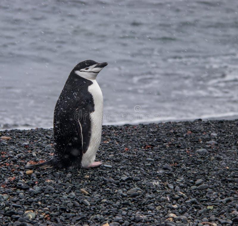 Ensam Chinstrap pingvin i Antarktis fotografering för bildbyråer