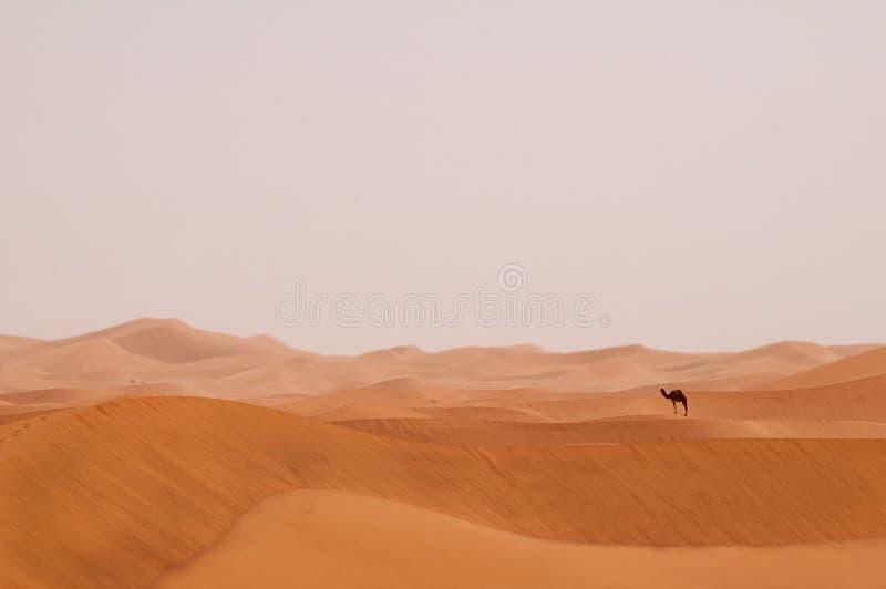 Ensam dromedar i Sahara Desert av Marocko arkivfoto