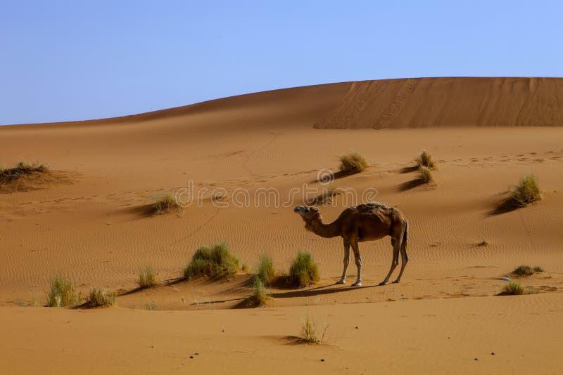 Ensam dromedar i Sahara Desert, Marocko arkivfoton