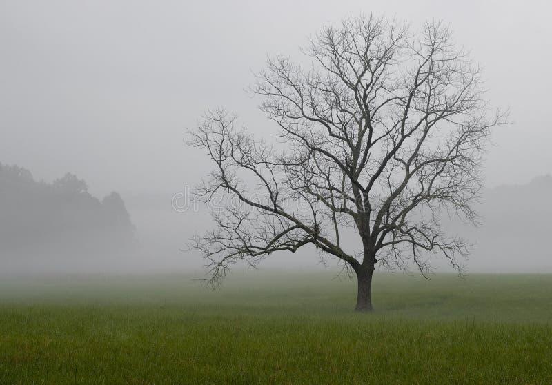 Ensam ek i dimman, Great Smoky Mountains nationalpark, Tennessee royaltyfri bild