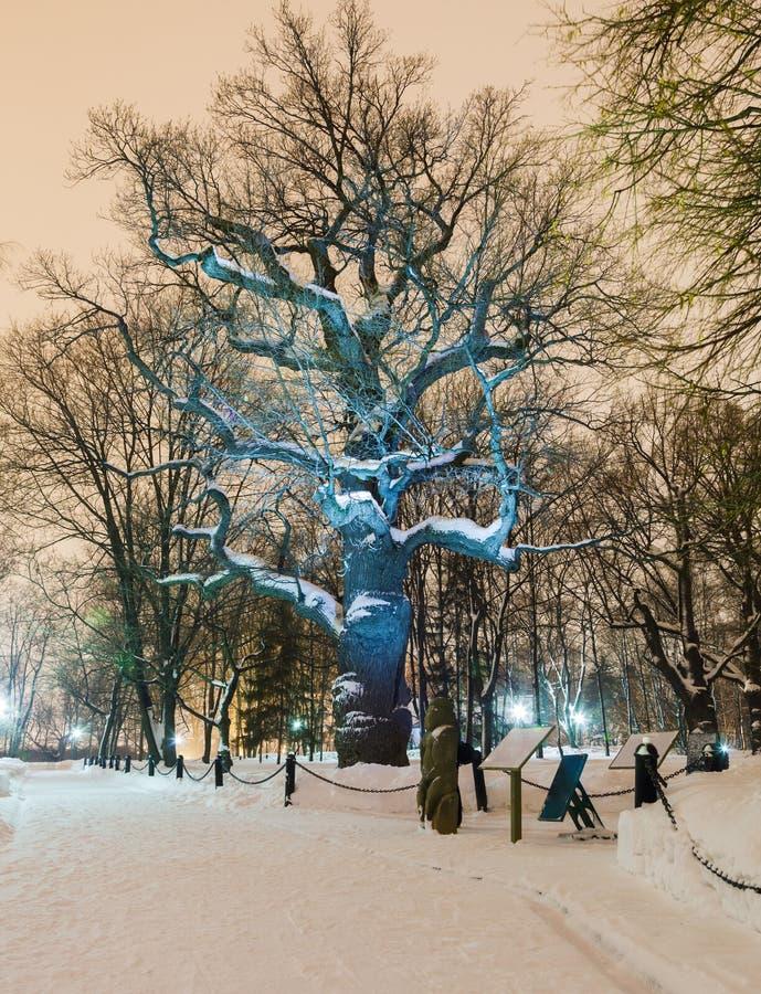 Ensam ek på vinternatten arkivfoto
