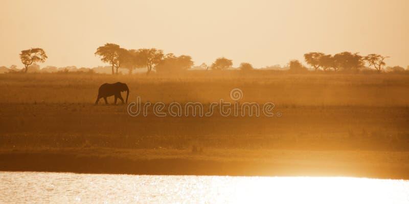 Ensam elefanttjur som korsar Zambezi slättar royaltyfria bilder