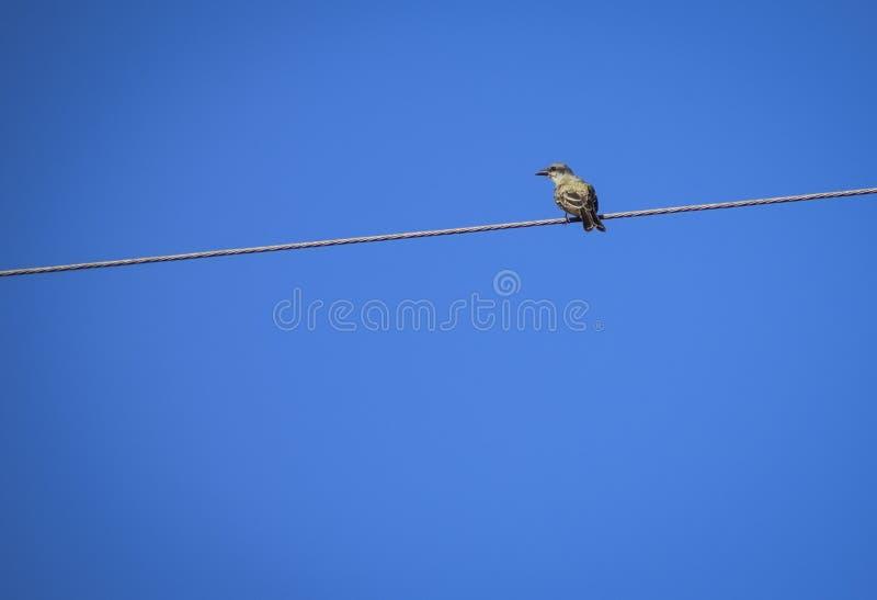 Ensam fågel på en maktkabel arkivbilder