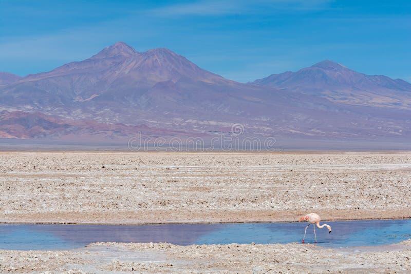 Ensam flamingo på den Atacama öknen arkivbild