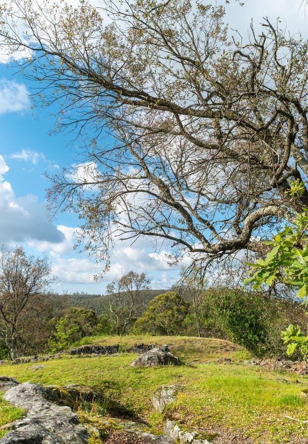 Ensam grön ek för vårlandskap på ett grönt fält av frodigt arkivbilder