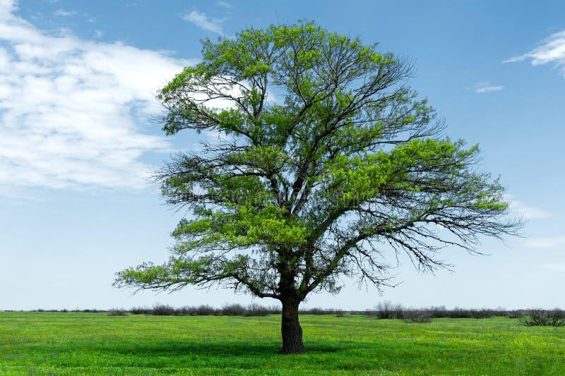 Ensam grön ek för vårlandskap på ett grönt fält av frodigt gräs mot en bakgrund för blå himmel av solstrålar och arkivfoton