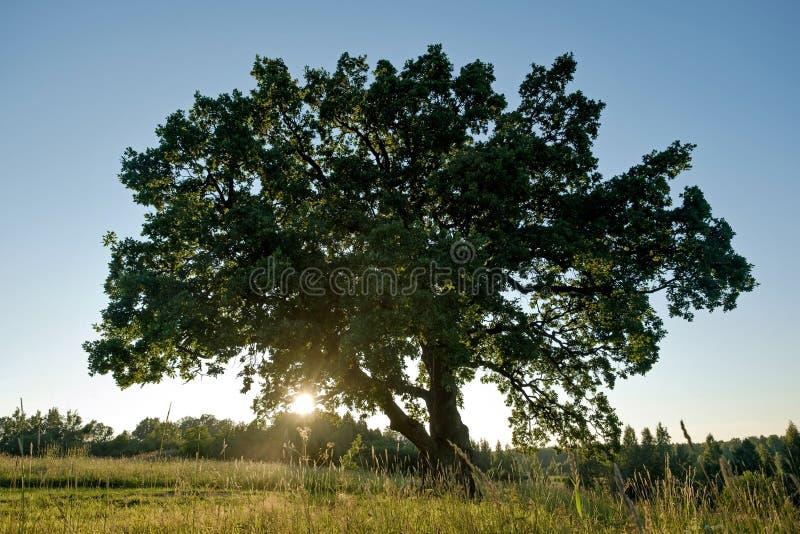 Ensam grön ek i fältet royaltyfri bild