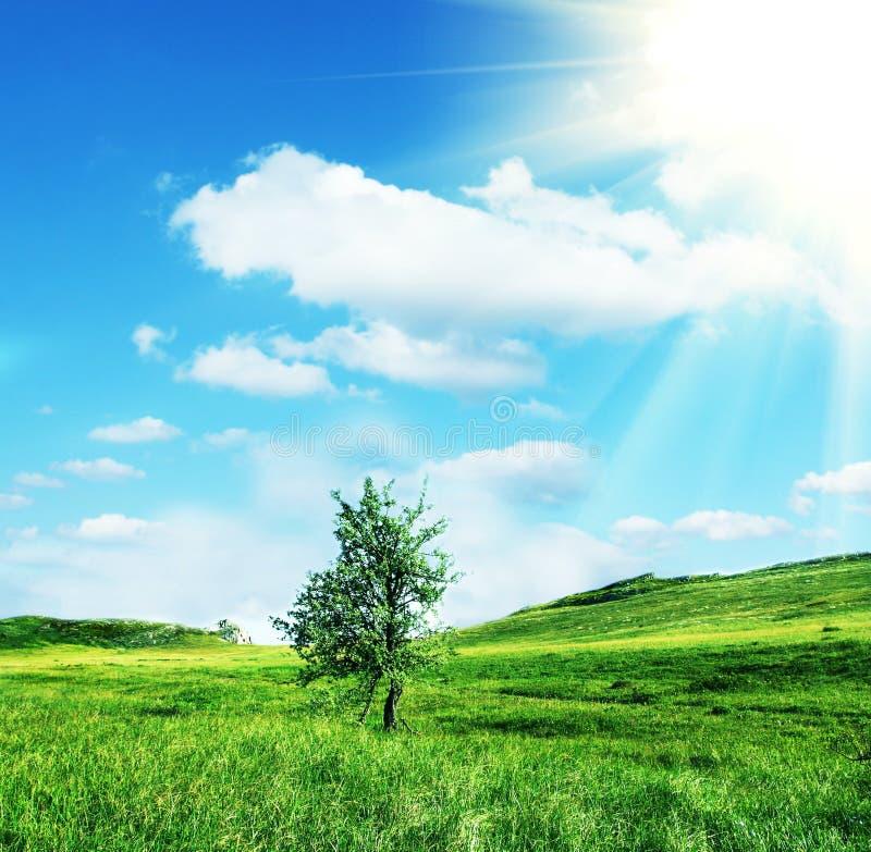 ensam härlig tree för solnedgång för sommar för fältgreenliggande arkivbilder