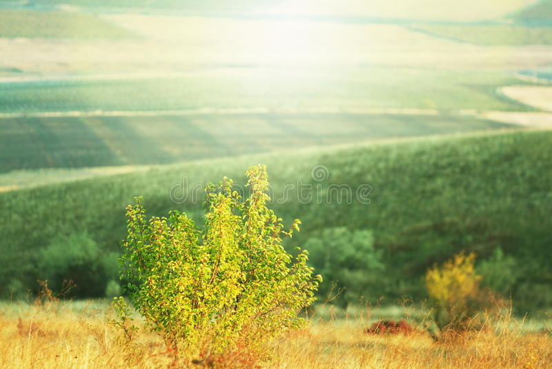 ensam härlig tree för solnedgång för sommar för fältgreenliggande royaltyfria bilder