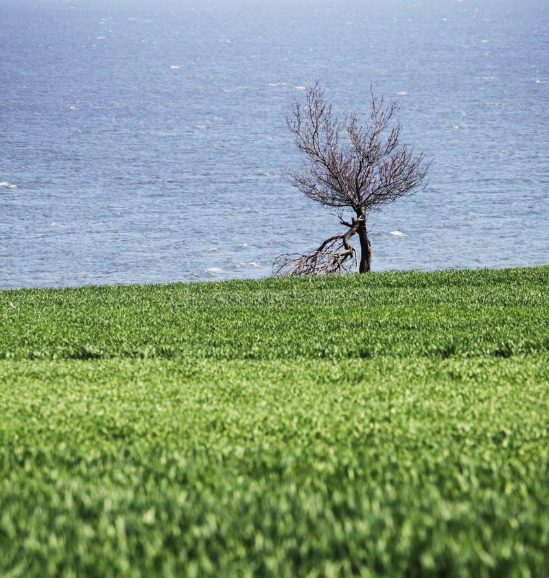ensam härlig tree för solnedgång för sommar för fältgreenliggande arkivfoto