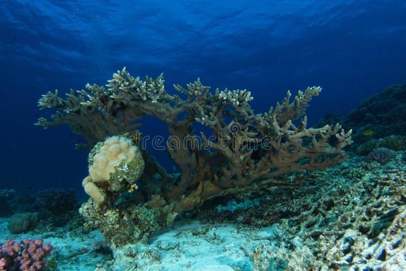 Ensam hård korall över sanden royaltyfria foton