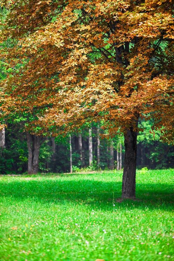 Ensam höstkastanjtree. royaltyfri fotografi