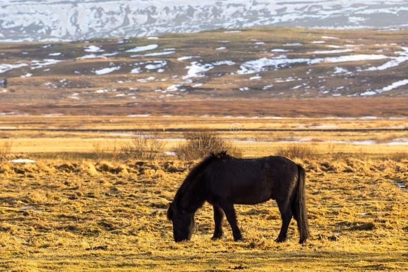 Ensam isländsk häst arkivbild