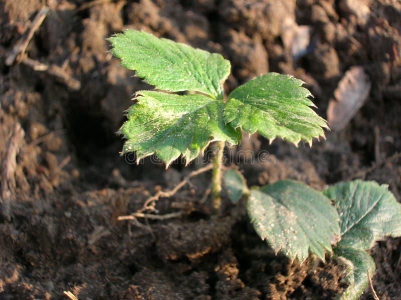 ensam jordgubbe för leaf royaltyfria foton