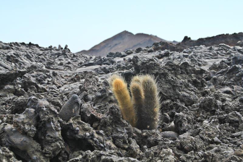 Ensam kaktus på ett lavafält arkivbilder