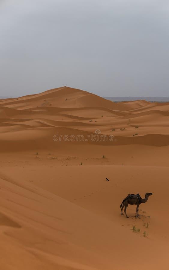 Ensam kamel i öknen royaltyfri fotografi