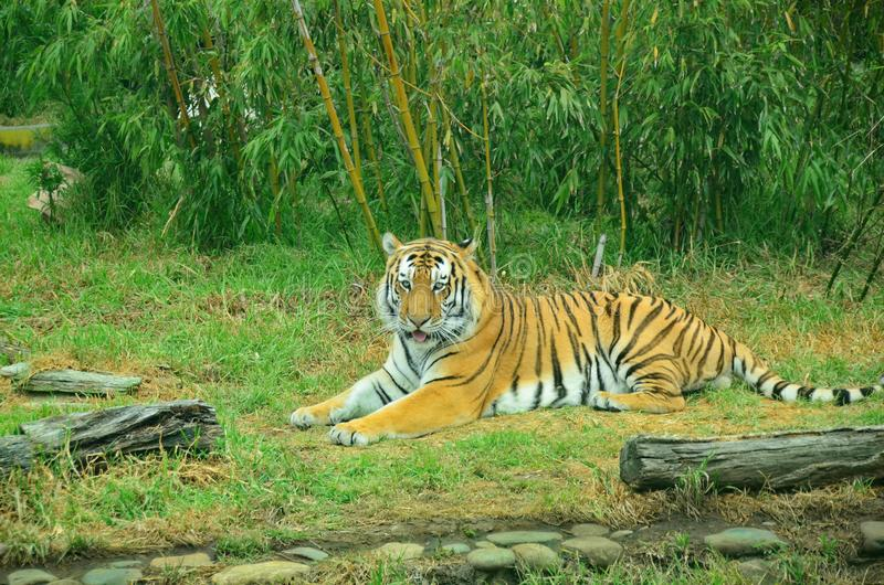 Ensam kunglig bengal tiger i koppla av för zoo arkivfoto