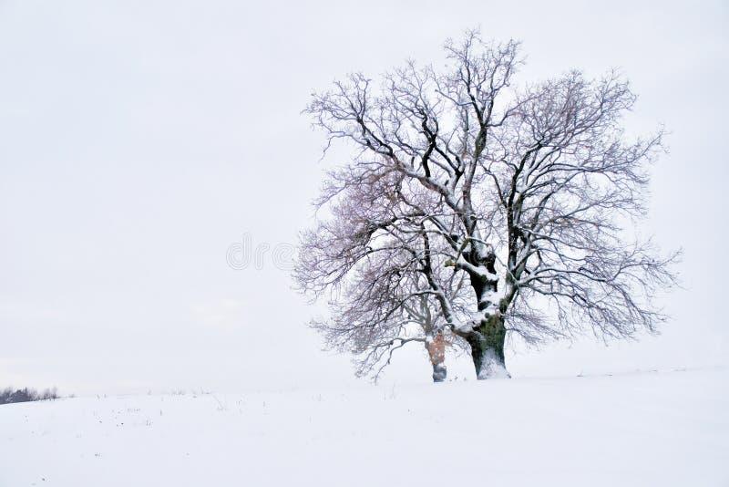 Ensam majestätisk ek i vinter arkivfoto