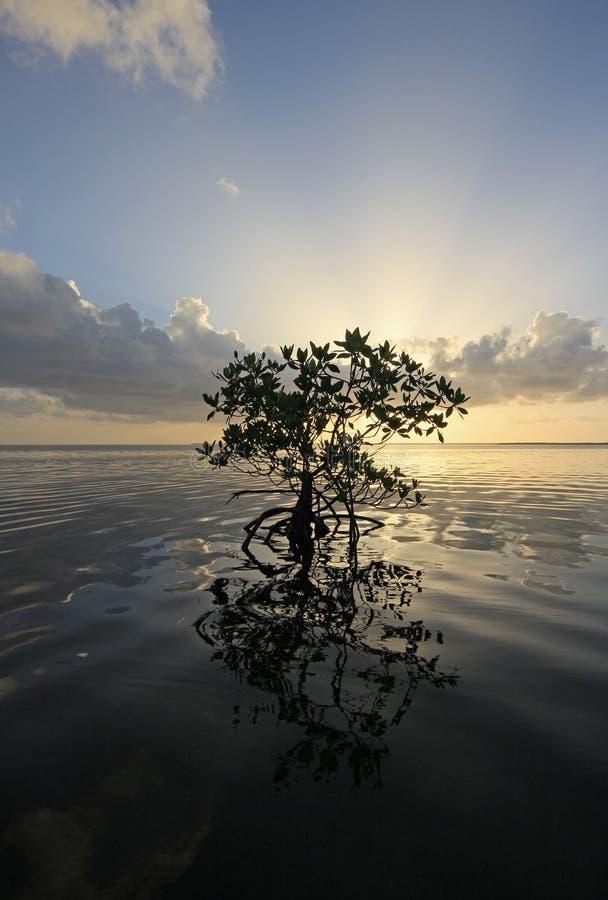 Ensam mangrove på soluppgång i kortljudet, Florida royaltyfria bilder
