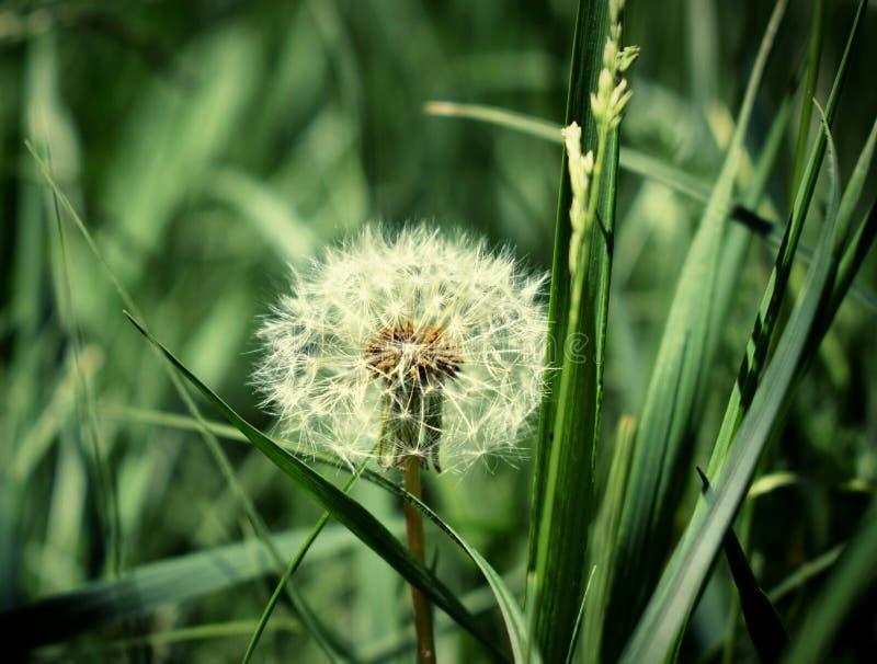 Ensam maskros i fältet, härlig bakgrundsbild i bra detalj royaltyfri fotografi